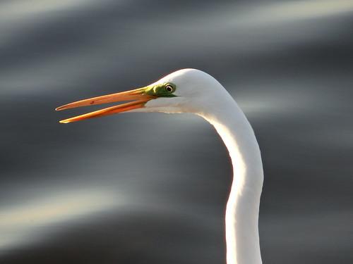 Garza blanca o grande (Ardea alba) / White Egrets