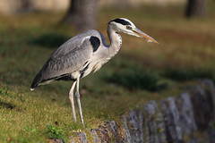 Grey heron (Teruhide Tomori) Tags: greyheron animal nature bird kyoto japan wild