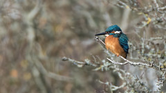 Kingfisher (Aardwolf6886) Tags: kingfisher clennonvalley