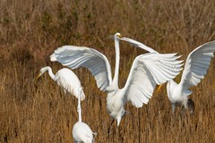 7K8A3848 (rpealit) Tags: scenery wildlife nature chincoteaque national refuge great egrets egret bird