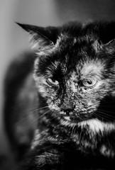 Ella (Katrina Wright) Tags: christmas2014 dsc56662 ella cat tortoiseshellcat whiskers eyes nose bw monochrome nb vokra mudd rescue torty petportrait
