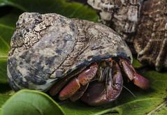 Hermit Crab (RedPlanetClaire) Tags: hermit crab