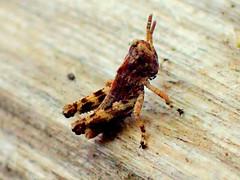 Grasshopper Nymph (Bugldy99) Tags: animal arthropod arthropoda hexapod hexapoda insect insecta orthoptera grasshopper nymph