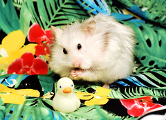 Bubu & Duck (pyza*) Tags: hamster hammie syrian syrianhamster chomik chomiksyryjski animal pet rodent critter adorable cute sweet furry fluffy monster