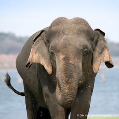 Ceylon elephant, Ceylon olifant (Ger van Beek) Tags: ceylonolifant srilanka vakantie zoogdieren