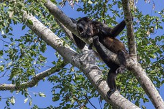 Howler Monkey (hey its k) Tags: costarica wildlife nature monkey howlermonkey canon6d tamron150600mm img9091