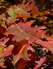 Northern Red Oak (Dendroica cerulea) Tags: northernredoak redoak quercusrubra quercus fagaceae fagales tree oak leaf red plant leaves foliage autumn rutgersecologicalpreserve livingstoncampus rutgersuniversity middlesexcounty nj newjersey