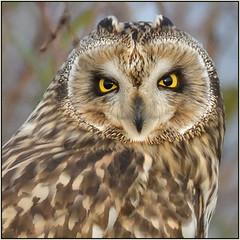 Short-eared Owl (image 2 of 2) (Full Moon Images) Tags: wildlife nature cambridgeshire fens east anglia bird prey birdofprey shorteared owl short eared seo
