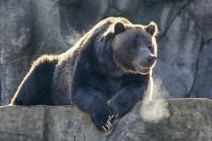 bear breath (ucumari photography) Tags: ucumariphotography nc north carolina zoo grizzly brown bear ursusarctos oso animal mammal tomo october 2016 dsc6883 specanimal