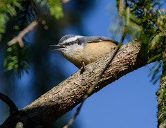 Red-breasted Nuthatch (snooker2009) Tags: redbreasted nuthatch bird nature wildlife migration fall spring pennsylvania