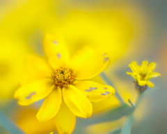 Rough around the edges.. (zoomclic) Tags: canon closeup colorful macro flower foliage fall 7d ef85mmf12liiusm dof dreamy bokeh yellow green 12mmexttube zinnia dwarf garden outdoors nature zoomclicphotography