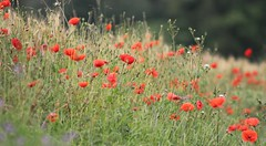 En hommage... (Vicky Bella ~ away) Tags: seineetmarne france coquelicots bordderoute champêtre fleurs champ poppies