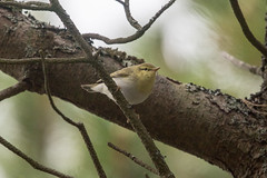 Wood Warbler at Vry S24A0377 (grebberg) Tags: vry lofoten nordland norway september 2016 woodwarbler phylloscopussibilatrix phylloscopus warbler