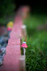 ILCE-6000-20161112-06062 // Minolta MC (MC-II) Rokkor-PG 58mm 1:1.2 (Otattemita) Tags: 58mmf12 florafauna mcrokkor minolta minoltamcmciirokkorpg58mmf12 fauna flora flower nature plant wildlife minoltamcmciirokkorpg58mm112 sony sonyilce6000 ilce6000 58mm cnaturalbnatural ota