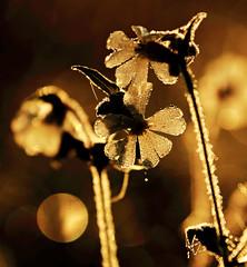 Smile and tears (Robyn Hooz) Tags: smile tears flowers backlit backlight luce controluce alba fiore rugiada giardino casa garden tear