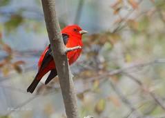 Male Scarlet Tanger (Henrietta Oke) Tags: scarlet tanger bird nature scarlettanger songbird macgregorpoint plumage breedingplumage wildlife ontario red wings feathers