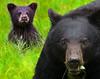 Mother and Daughter (paul_malen) Tags: albertacanada jaspernationalpark animal banffnationalpark bears canadianrockies
