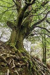 echando raices (loreto Gs) Tags: basquecountry paisvasco euskalherria nikon 5200 bosque verde grean raices suelo nature naturaleza primavera tranquility tranquilidad morning maana