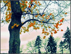 Autumn Tree & Evergreens - Photo Taken by STEVEN CHATEAUNEUF On November 23, 2016 And Editing Was Done On November 25, 2016 (snc145) Tags: autumn fall seasons sky clouds trees landscape scenery nature photo editedimage november232016 november252016 stevenchateauneuf flickrunitedaward autofocus soe vividstriking