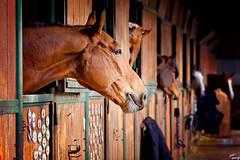 Siamo nati per essere liberi, ma sappiamo riconoscere le catene? (LightRapsody) Tags: cavalli scuderie box
