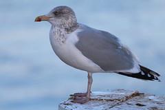 Herring Gull Winter Plumage (jdathebowler Thanks for 965,000+ views.) Tags: herringgull winterplumage seabird seagull nature bird coth fantasticnature specanimal greatphotographers