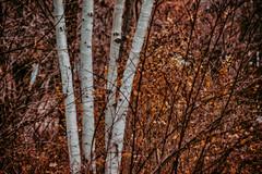 Four Birch (KWPashuk) Tags: nikon d7200 nikkor70300mm lightroom nikcollection kwpashuk kevinpashuk birch tree autumn leaves trunks forest outdoors nature