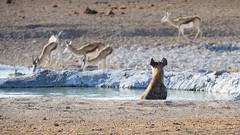 Hyena_watching_Impalas_08863 (tombomba2) Tags: 80400vrii antelopes antilopen hyena hyne impala nikkor nikon objektive tiere animals lenses