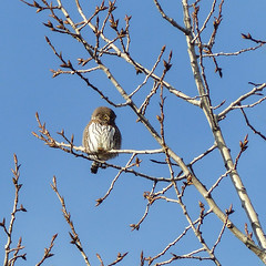 A distant Northern Pygmy-owl (annkelliott) Tags: calgary alberta canada fishcreekpark nature ornithology avian bird birdofprey owl northernpygmyowl glaucidiumgnoma predator popcansized fistsized ferocioushunter diurnal perched branch tree deciduous poplar frontview cute adult distant outdoor fall autumn 26november2016 fz200 fz2004 annkelliott anneelliott