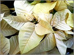 White Poinsettia .. (** Janets Photos **) Tags: uk plants flora flowers whitepoinsettia closeups