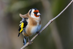 Windswept (klythawk) Tags: goldfinch cardueliscarduelis branch autumn nature windy dof red yellow beige brown green grey black white nikon d500 sigma 150600mmc calkeabbey nationaltrust ticknall derbyshire klythawk