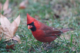 Northern Cardinal by Russ Allison