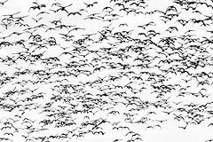 Escher's Geese (skawalker) Tags: sacramentowildliferefuge escher bw northerncalifornia geese