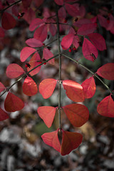 december symmetry (336/366) (severalsnakes) Tags: ks2 m2828 missouri pentax saraspaedy sedalia autumn branch bush fall foliage leaf manual manualfocus red shrub