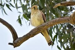 Look who came to town (Luke6876) Tags: nankeenkestrel kestrel falcon birdofprey raptor bird animal wildlife australianwildlife