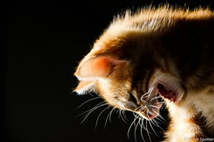 Sweety Cat (Viictor B) Tags: cat cats animal cute awesome sweet sweety fun funny animals baby babies sleep red yellow little size eyes