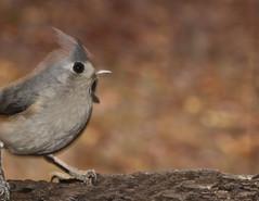 tufted titmouse (Anne Davis 773) Tags: 2016366 341366 tuftedtitmouse bird log