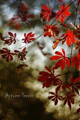antumn leaves-2 (~) Tags: