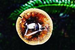 FUNGUS (Studio Natoyaista) Tags: mushroom fungus green fern organictexture texture tone lightandtone lightandtexture tones naturallight vancouver westvancouver