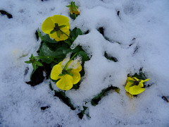 Colourful snow beauties (+3) (peggyhr) Tags: peggyhr yellow snow dsc00273a vancouver bc canada favtop2049fav super~sixbronzestage1 level1peaceawards niceasitgets~level1