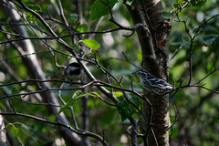 """""""The enemy of my enemy is my...."""" (Jon.the.canadian) Tags: white black bird nature birds newfoundland chick chickadee whoa dee awe capped bnw warbler territorial avians ornithography"""