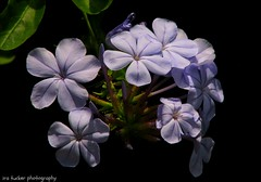Every now and then I like to do as I'm told.... (itucker, thanks for 1.9+ million views) Tags: macro bokeh plumbago raulstonarboretum hpps
