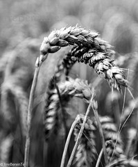 (IrreBerenT) Tags: blackandwhite bw blancoynegro nature rural cereal bn campo bnw bwn espiga trigolimpio panochas irreberente