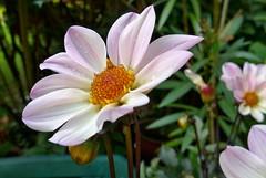 in meinem Garten - explore Aug 24, 2015 # 308 (mama knipst!) Tags: dahlia summer flower fleur sommer natur blume dahlie meingarten