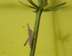Grasshopper nymph (rockwolf) Tags: france insect jura grasshopper nymph orthoptera 2015 rockwolf doucier