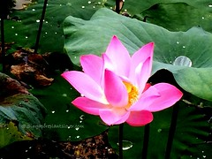 IMG_4070 (singaporeplantslover) Tags: nymphaea   lotus