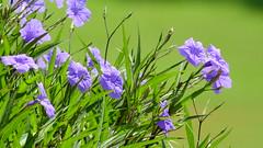 Mexican Petunia (Jim Mullhaupt) Tags: blue wallpaper plant flower landscape nikon purple florida outdoor p900 coolpix shrub bradenton invasive mexicanpetunia mexicanbluebells mullhaupt ruelliasimplex nikoncoolpixp900 coolpixp900 nikonp900 jimmullhaupt
