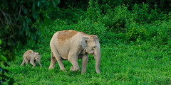 Asian Elephant, Elephas maximus, mother and calf in Kui Buri national park (tontantravel) Tags: park wild baby elephant asian thailand asia southeastasia child indian mother national elephants wilderness southeast calf juvenile motherandchild buri maximus asianelephant asiatic motherandbaby kui elephasmaximus indianelephant asiaticelephant wildelephant elephas indianelephants asianelephants elephantcalf asiaticelephants wildelephants kuiburi kuiburinationalpark asianelephantcalf tontantravel tontantravelcom