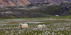 Icelandic sheep - Landmannalaugar (Sinar84 - www.captures.ch) Tags: blue red summer sky panorama orange white mountain snow black green animal yellow clouds river iceland hill gray august glacier highland midday landmannalaugar 2015 icelandicsheep