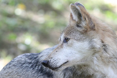 234A5564.jpg (Mark Dumont) Tags: animals mammal zoo wolf mark cincinnati mexican dumont