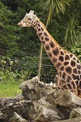 Giraffa camelopardalis DT [NZ Auckland Zoo] (3) (Archivo Murcilago Blanco) Tags: africa fauna auckland mammals mammalia aucklandzoo nuevazelanda ungulates giraf jirafa giraff mamifero artiodactyla giraffidae oceana cetartiodactyla ungulado ungulados tirira diegotirira archivomurcielagoblanco
